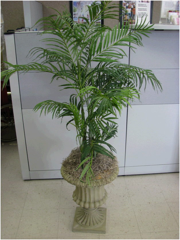 Where to find TREE, 5 FT ARECA PALM IN STONE URN in Fairview Heights